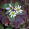 """Tiny (1-2"""" tall) white flowers - the first to bloom every spring, they provide much needed pollen for insects."""