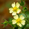 Rough-fruited cinquefoil