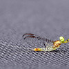 Burrower Mayfly