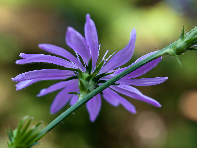 The underside of a short-lived chicory blossom.