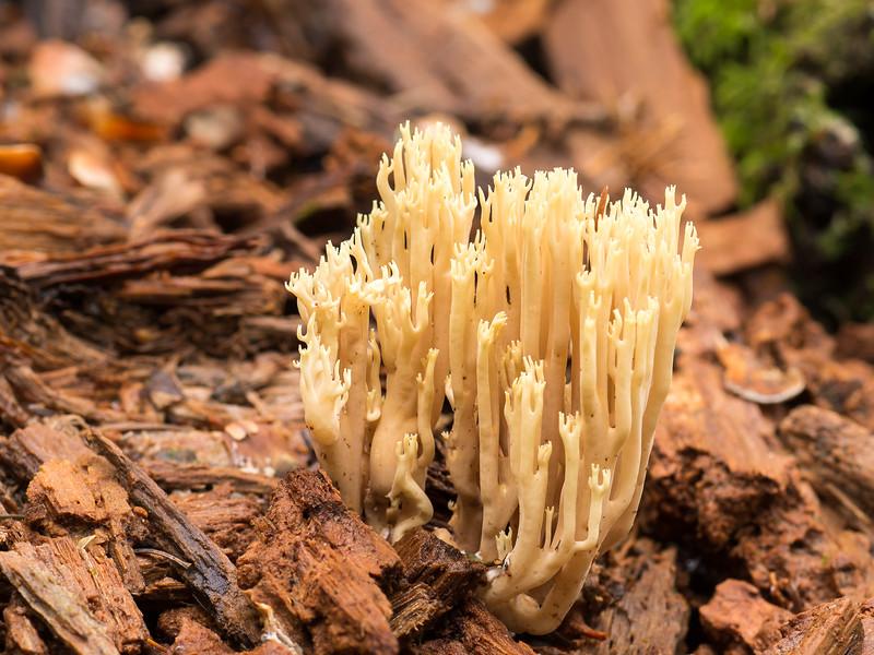 Crown coral fungus