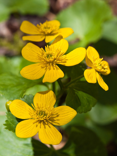 Now this is the light I was after the last time I shot marsh marigolds.