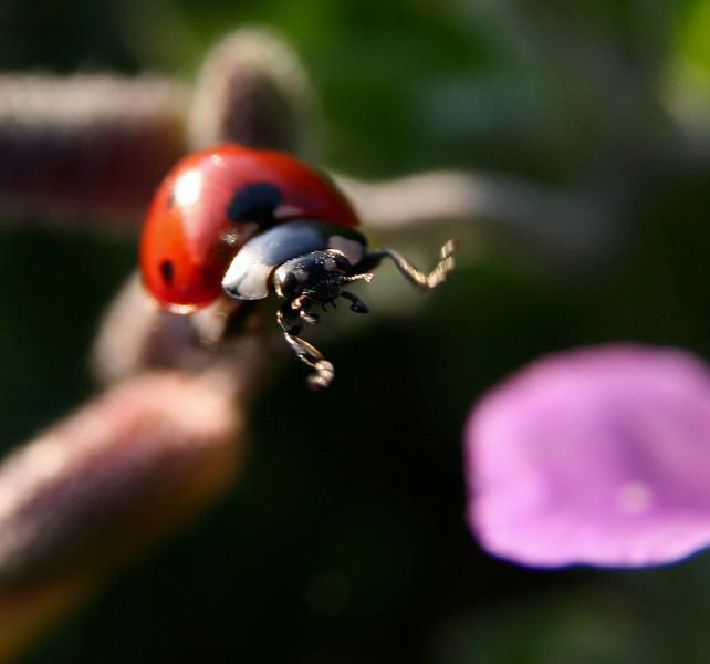 Shall I or shan't I? Ladybird on the edge...
