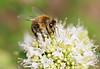 'Bee on thyme'