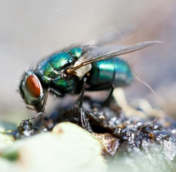 Colourful fly eating a dead slug.