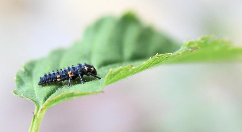 Ladybird grub