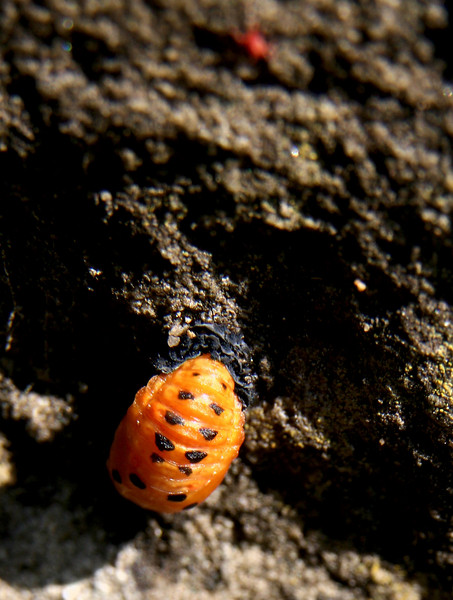 Ladybird grub about a day after going into pupal state.