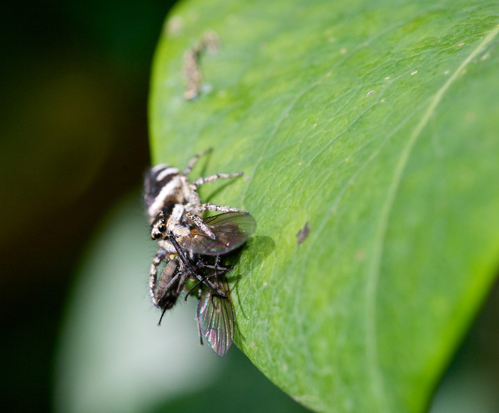 Jumping spider just after jumping on fly