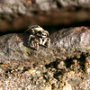 Jumping spider (sigma 17-70)