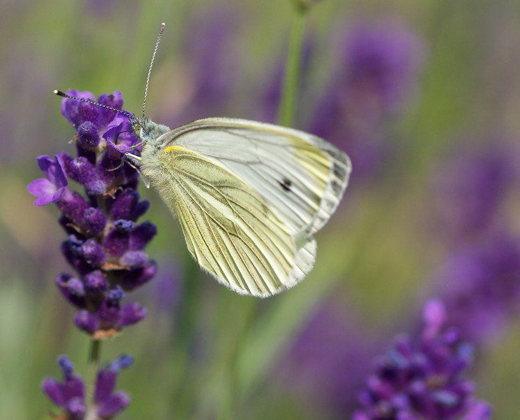 This is the imaginatively named 'small white' butterfly.