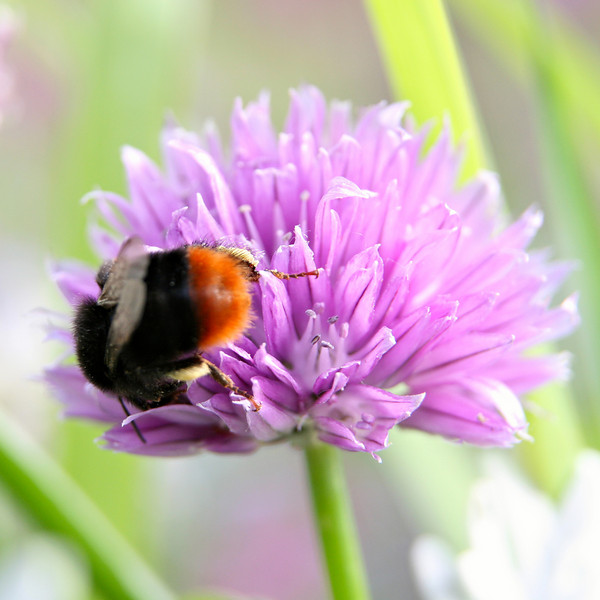 Bee on chive flower. Sigma 17-70 plus 21mm extension.