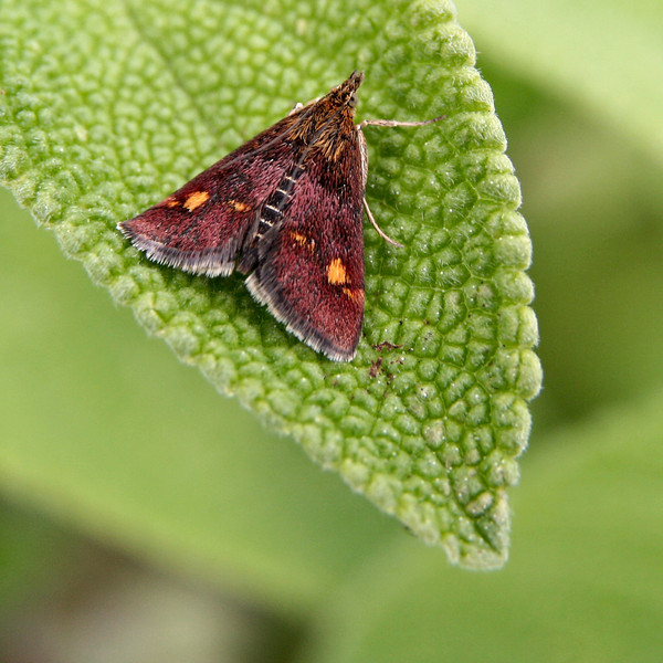Very tiny Yellow Spotted moth on sage leaf. Sigma 17-70 with 13mm extension tube.