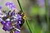 Bee on English Lavender