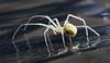 Very small garden spider
