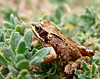 A frog (Common Frog) in my garden