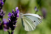 'Small white' butterfly