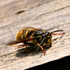 Wasp eating my summer house.