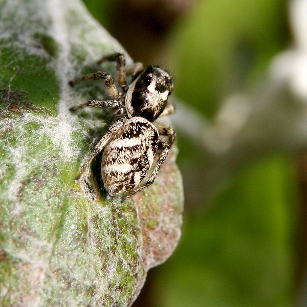 Jumping spider. Sigma 17-70 plus 21mm extension tube.
