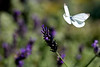 Lavender and a butterfly
