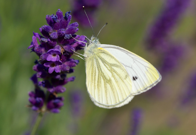 'Small white' butterfly on lavender (I don't have any cabbages)