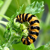 Cinnabar caterpillar. Will turn into smallish crimson and black cinnabar moth.