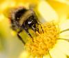 Bee on senecio flower