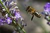 BIF – Bee In Flight