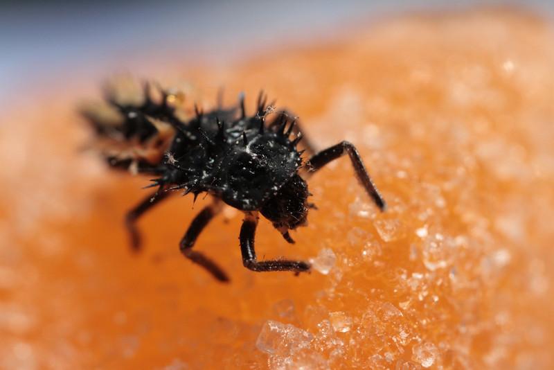 Immature Ladybug (insecta: coleoptera: coccinelliadae septempunctata) on Orange Gummy Thing