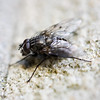 An ordinary fly. Light was fairly poor so I used f/2.8. Limited depth of field is quite interesting.