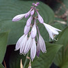 Purple hosta blooms