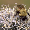 Bumblebee on echinops thistle blossom