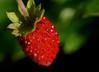 Tiny wild strawberry in my garden
