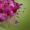 Spirea flower