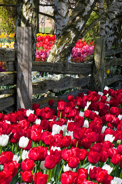 Tulips Along the Fence<br /> Skagit Valley, WA