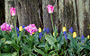 Tulips Along the Fence<br /> La Conner, WA