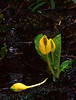 Fallen Friend<br /> Skunk Cabbage Bloom