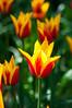 Tulips in the sunlight<br /> Skagit Valley, WA