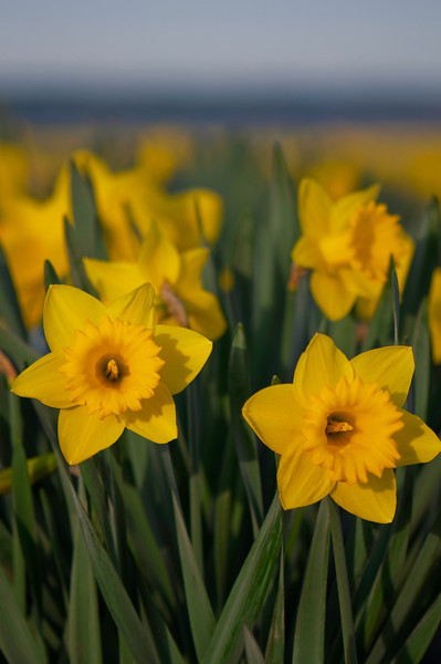 Daffodils in Sunlight<br /> La Conner, WA