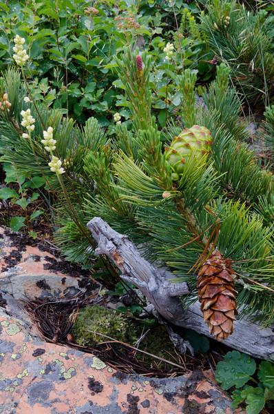Pine Cones<br /> Glacier National Park, Montana
