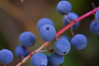 Wild Blueberries<br /> Deception Pass, WA