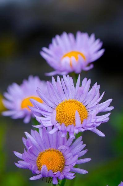 Brilliant Blooms<br /> Mt. Rainier National Park