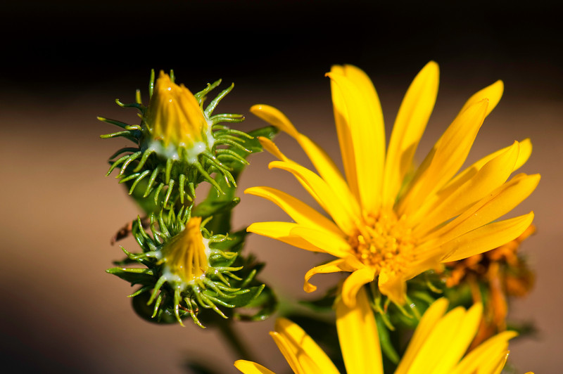 Yellow Thistle in Bloom<br /> Deception Pass, WA