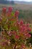 Maui plant