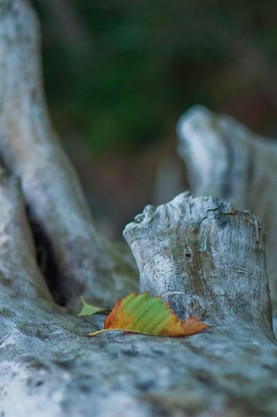 Fallen Leaf<br /> Deception Pass, WA