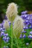 Western pasqueflower in summer<br /> Mt. Rainier National Park