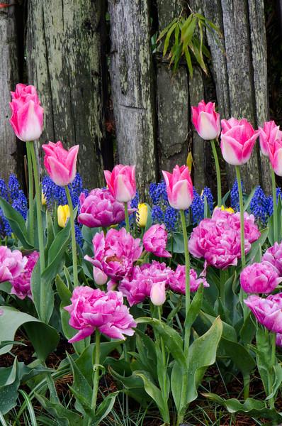 Morning Tulip Blooms<br /> La Conner, WA