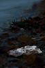 Oyster shell<br /> Guemas Island, WA