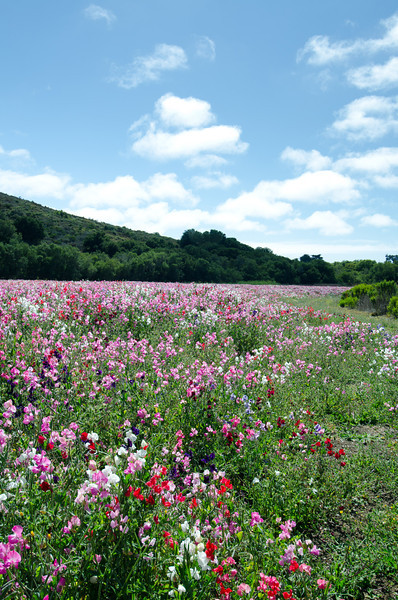 Wildflowers<br /> Los Osos, California
