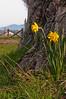 Daffodils in Spring<br /> La Conner, WA