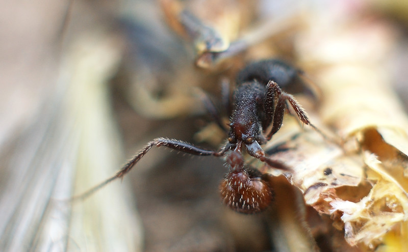 Rear end of Ant